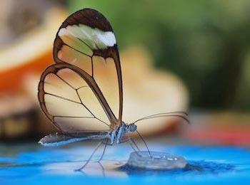透翅蝶的丛林写生:微距昆虫摄影欣赏