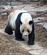 抓拍国宝熊猫