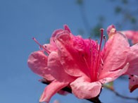 春景烂漫 杜鹃花开