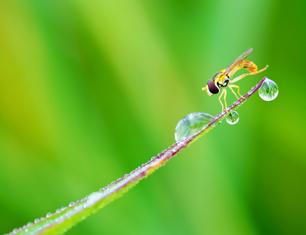 《食蚜蝇》