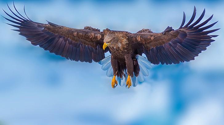 在北纬44度的海域流冰上拍摄大型猛禽